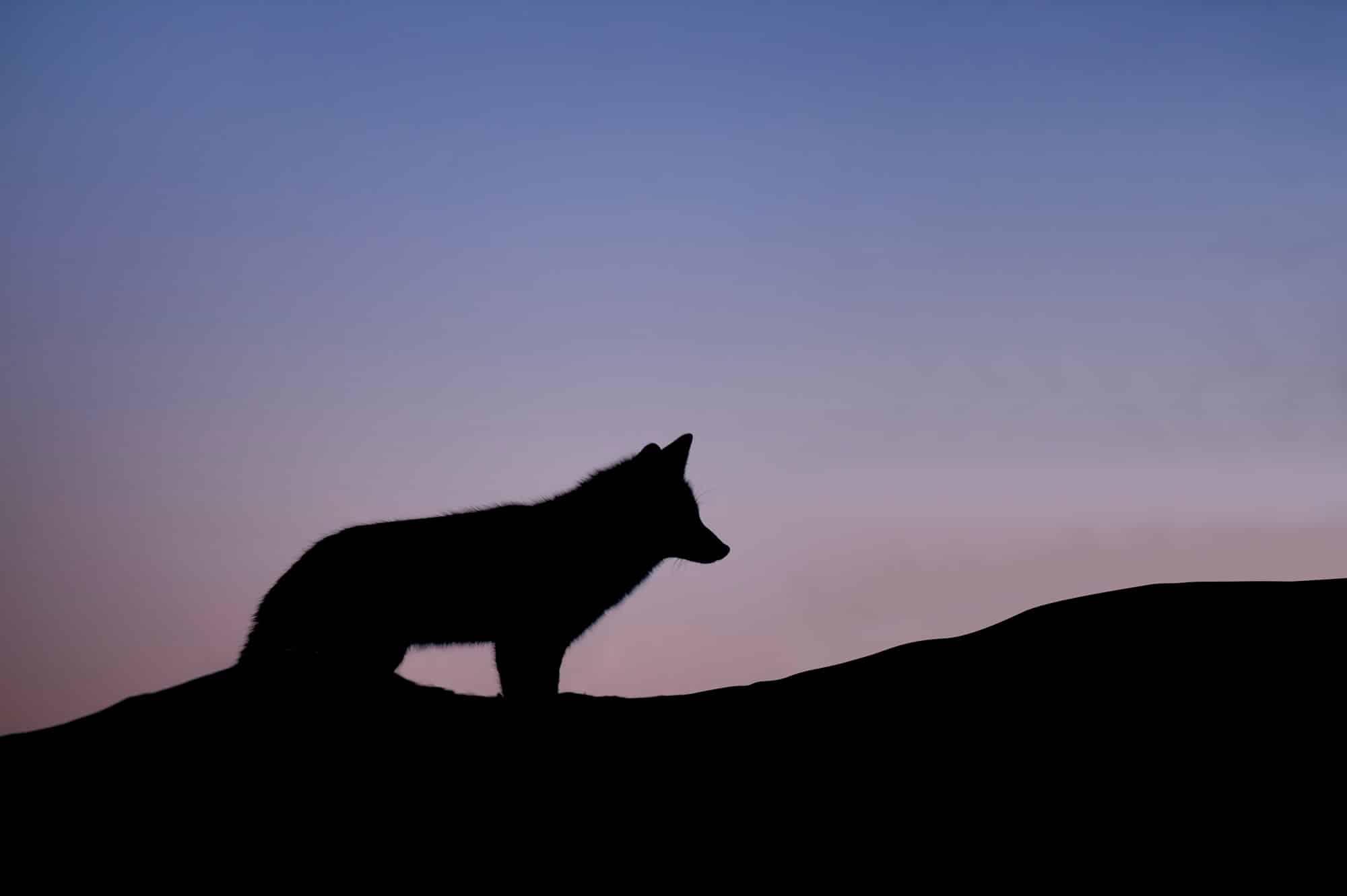 Loup seul dans la nuit