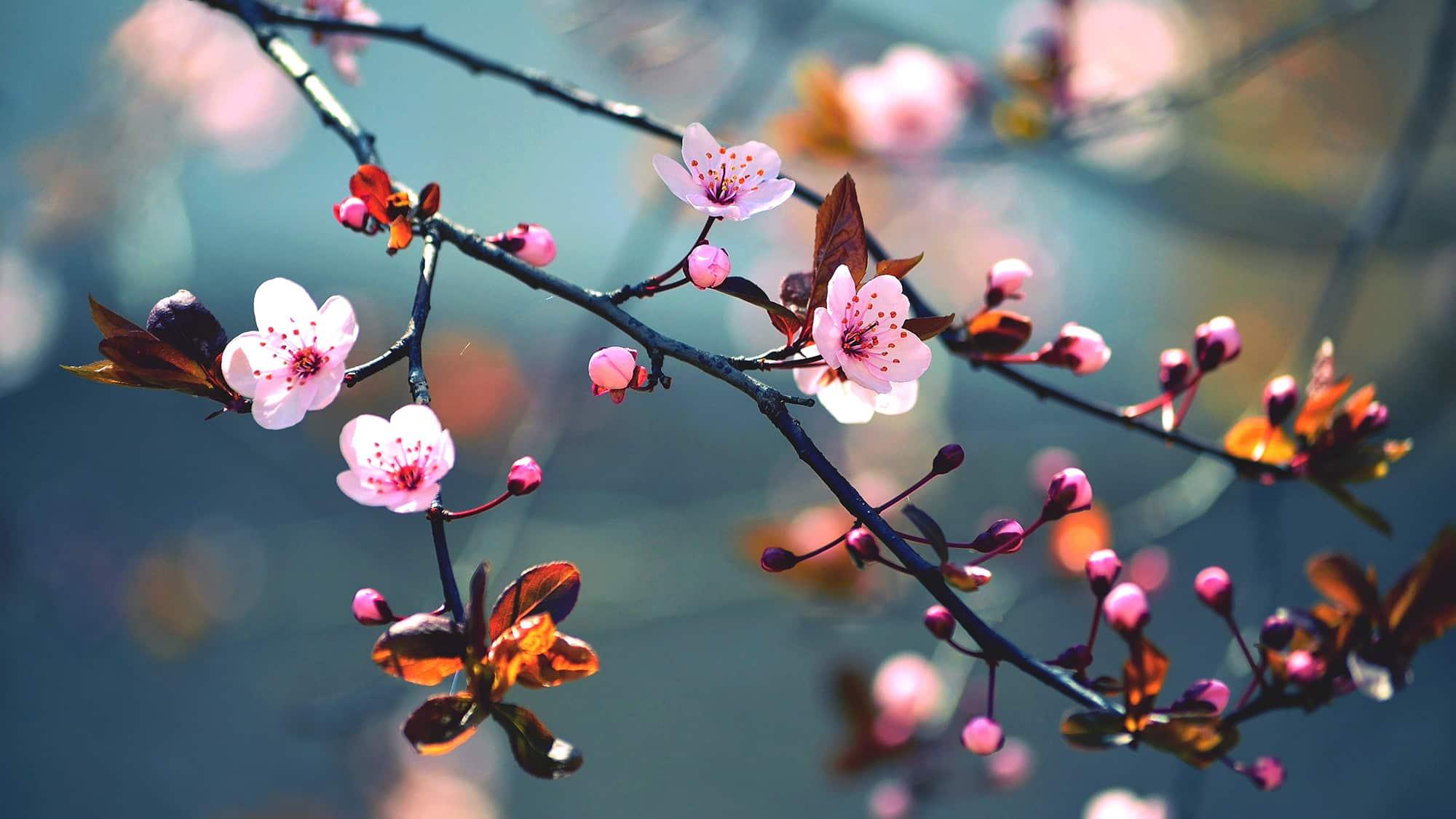 Sakura en fleurs